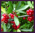 Wild Buffaloberry