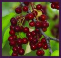 Wild Chokecherry
